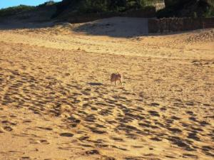 Exposed and anxious, Henry moves swiftly across the dunes