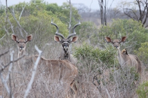 A family of kudu - one of the noblest of African antelope