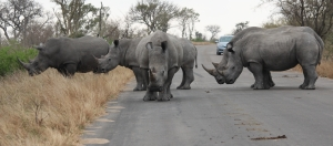 These five rhino came into the road, stood unmoving for twenty minutes.